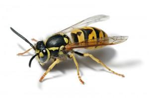 european wasp white